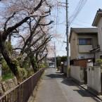 文化町さくら通りの桜