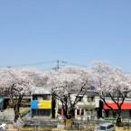 亀岡八幡宮および付近の桜