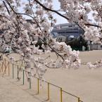 鹿野小学校の桜