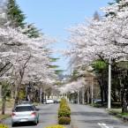 東北大学川内キャンパスの桜