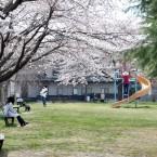 福寿さくら公園の桜