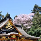大崎八幡宮の桜