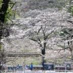 三居沢の桜