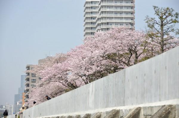 仙台桜名所ツアー2011