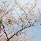 ライオンズ広瀬川公園の桜
