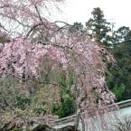 塩竈神社の桜