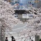仙台東照宮の桜