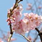 榴ヶ岡公園の桜